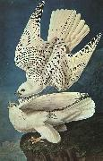 White Gerfalcons John James Audubon